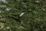 Arabian Warbler.