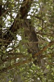 Pallid Scops Owl.