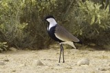 Spur-winged Lapwing.