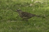 Water Pipit.