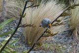 Young tui feeding on flax by Te Papa