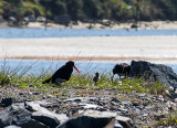 2 Oyster catchers with a chick