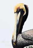FLAMINGO, PELICANS , PEACOCKS , SWANS, EMU