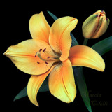 YELLOW ASIATIC LILY_1033.jpg