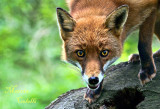 RED FOX AND WOLF