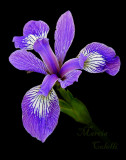 PURPLE WATER IRIS 6537.jpg