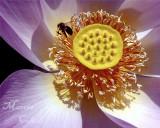 BEE ON LOTUS 7889.jpg