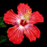 RED HIBISCUS 3688 .jpg