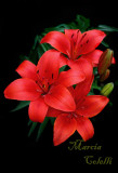 RED ASIATIC LILY_4725 .jpg