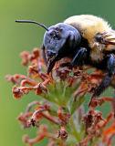 BULL BUMBLE BEE_0946 .jpg