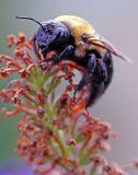 BULL BUMBLE BEE_0949.jpg