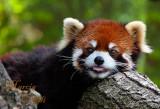 RED PANDA AND BEARS