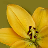 YELLOW ASIATIC LILY 7711.jpg