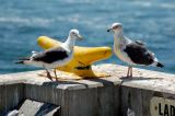 Two Gulls, one with a fishing line