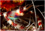 Red banded shrimp (with eggs).