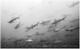 Schooling hammerhead sharks.  Again.