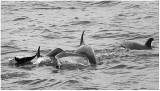 Dolphin tails.