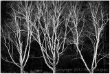 Birches (Morgan Arboretum).