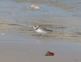 Semipalmated Plover, Basic Plumage