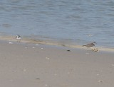 Semipalmated Plovers, Basic Plumage