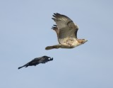 American Crow Chasing Red-tailed Hawk