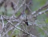 Broad-billed Hummingbird, Sub-Adult Male