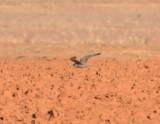 Prairie Falcon in Flight