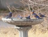 Western Bluebirds, Males at Bird Bath