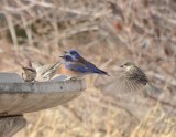 Western Bluebirds, Males with House Finches & Cassin's Finch, Female