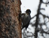 Three-toed Woodpecker Rocky Mountains, Male