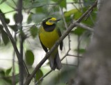 Hooded Warbler, Male