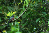 Black-tailed trogon
