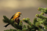 Red crossbill*