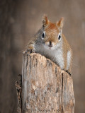 Écureuil roux / American Red Squirrel