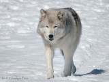 Loup gris / Gray Wolf