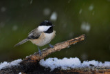 Chickadee in the Snow, thanks to Hurricane Sandy
