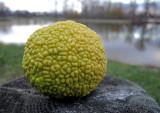 Hedge Apple (Maclura Pomifera)
