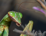 Praying Mantis and it's interesting mouth