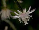 Pencil Cactus Bloom