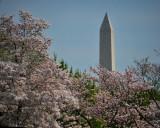 Washington, DC - Cherry Blossoms - 2013