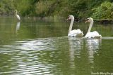 Swans and Egret