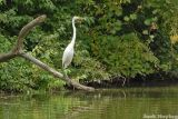 Egret on a Branch
