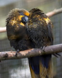 Blue and gold Macaw IMG_1697.jpg