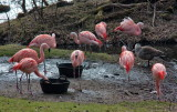 Chilean Flamingo IMG_1688.jpg