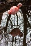 Chilean Flamingo IMG_1706.jpg