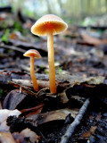 Winter twiglet  (Tubaria furfuracea)