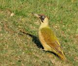Green-woodpecker.jpg
