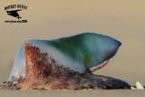 Portuguese man o' war washed ashore and dying - Quintana November 18, 2012