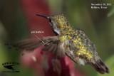Calliope Hummingbird primary molt November 28, 2012