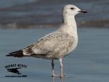 Seagull - Bryan - UTC - November 9, 2012